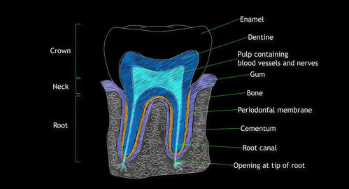 4K Human Tooth Structure 05 Animation
