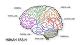 Human Brain 03 Animation