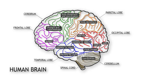 Human Brain 10 Animation