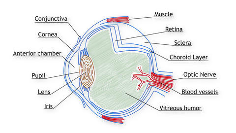 Human Eye 02 Animation