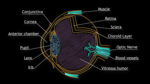 Human Eye 06 Animation