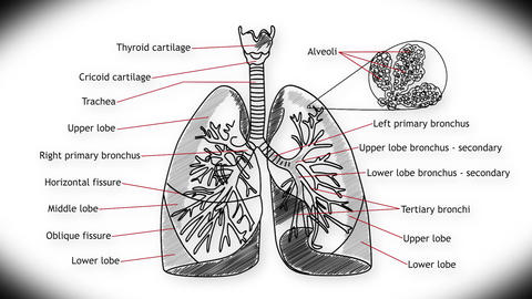 Human Lung 01 Animation