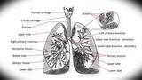 Human Lung 01 Animation