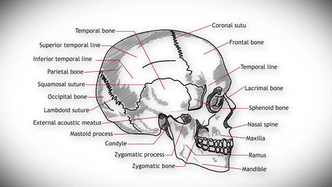 Human Skull 05 side Animation