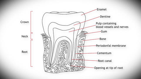 Human Tooth Structure 01 Animation