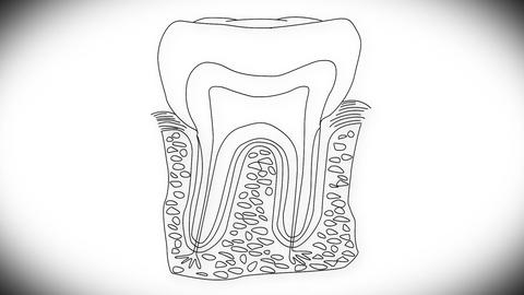 Human Tooth Structure 03 Animation