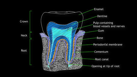 Human Tooth Structure 05 Stock Video Footage