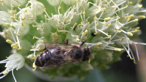 bee pollinating onion Stock Video Footage