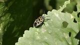 cabbage bug Eurydema ventralis Footage