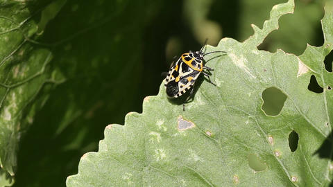 cabbage bug Eurydema ventralis Stock Video Footage
