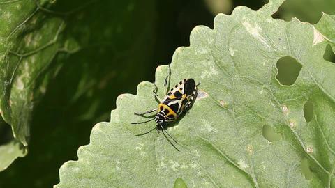 cabbage bug Eurydema ventralis Stock Video Footage