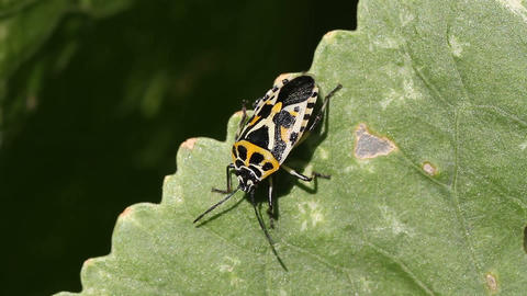 Red Cabbage Bug Eurydema ventralis Stock Video Footage