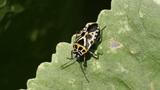 Red Cabbage Bug Eurydema ventralis Footage