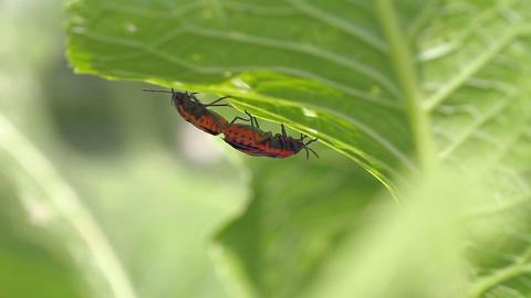 cabbage bedbug couple Eurydema ventralis Stock Video Footage