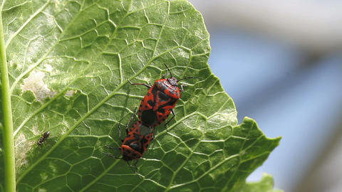 cabbage bug couple Eurydema ventralis Stock Video Footage