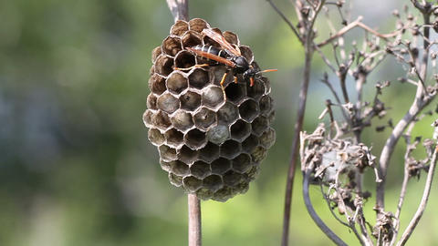 wasp protects its nest Stock Video Footage