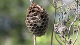 wasp protects its nest Footage