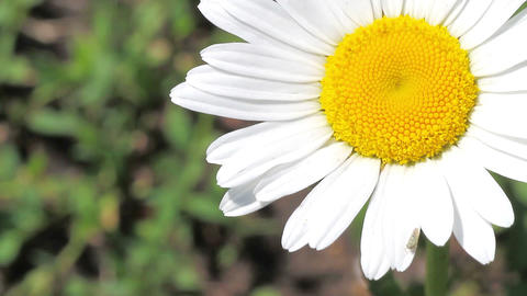white daisy Stock Video Footage