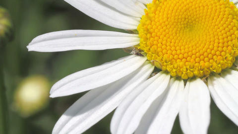 white daisy close-up Stock Video Footage