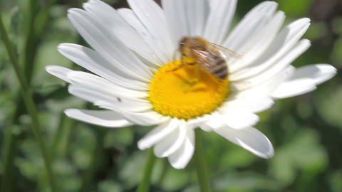 bee on the white daisy Stock Video Footage