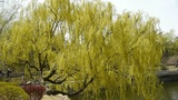 Dense willows by sparkling lake Footage