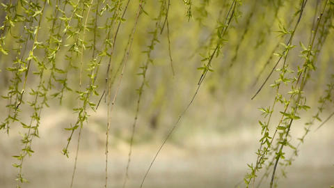 Willow branches swaying in wind Stock Video Footage