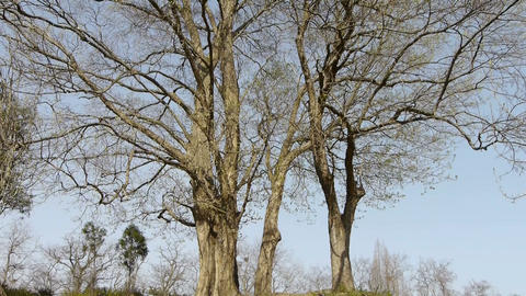 Big tree forest.Thick trunk.leisure,oriental Stock Video Footage