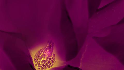 Beautiful magnolia bloom Kaleidoscope Stock Video Footage