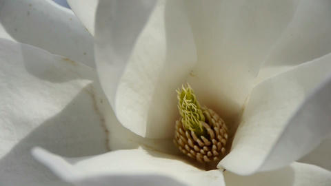 Beautiful magnolia bloom white Kaleidoscope Stock Video Footage