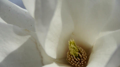 Beautiful magnolia bloom white Kaleidoscope Footage