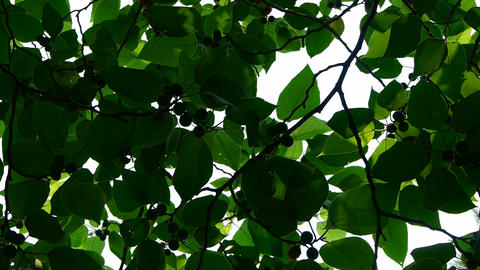 The dense branches foliage covered sky,sunlight through leaves Footage