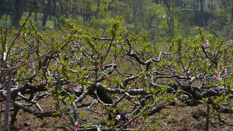 panoramic of peach tree orchards Stock Video Footage