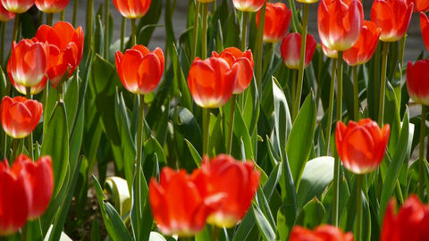 Tulips in full bloom Footage
