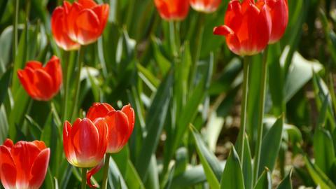 Tulips in full bloom Stock Video Footage