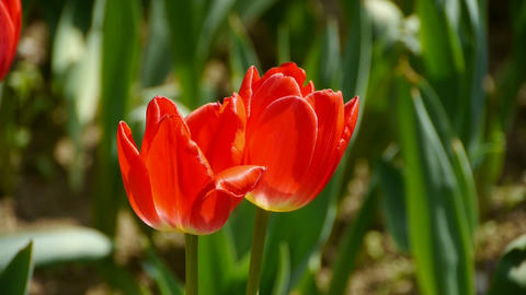 Tulips in full bloom Stock Video Footage