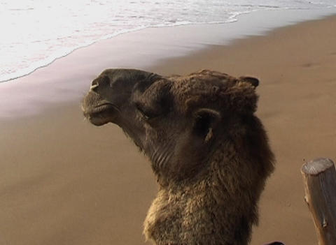 camel 01 Stock Video Footage