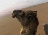 Camel 01 stock footage
