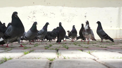 Low Perspective Pigeons Eating Corn Stock Video Footage