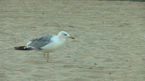 seagull b Stock Video Footage