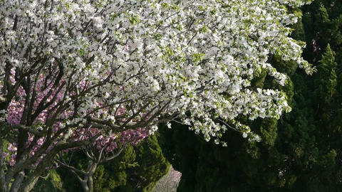 Petals falling.beautiful cherry blossoms tremble in... Stock Video Footage