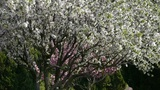 Petals falling.beautiful cherry blossoms tremble in wind,pine Footage