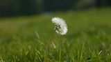 Beautiful dandelion Footage