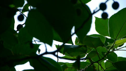 The dense branches foliage & fruit covered... Stock Video Footage
