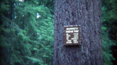 1969: Mammoth sugar pine view by tourists on family vacation Footage