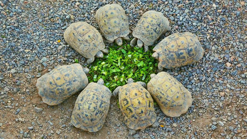 Eight young turtles stand circle and eating salad Footage