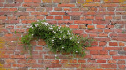 Bindweed trembling in the wind on a red brick wall Footage