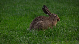Brown hare eat grass at field, telephoto view, animal move slightly, rise head Footage