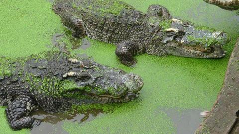 Feeding the crocodile, 4k Live Action