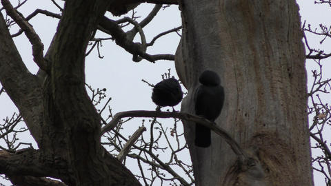 Jackdaw on a tree. A couple of black birds Footage