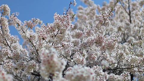 Sakura Cherry Blossoms Live Action